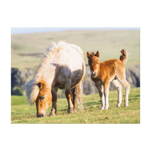 Shetland Pony On Pasture Near High Cliffs, Mare Gallery Wrap Canvas