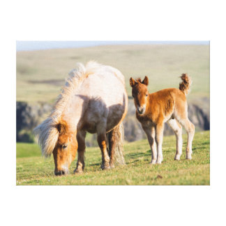 Shetland Pony On Pasture Near High Cliffs, Mare Canvas Prints