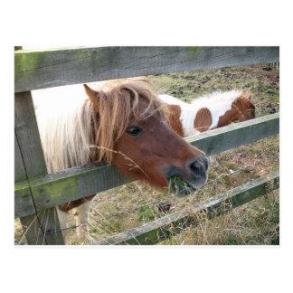Shetland Pony Postcard (5019)