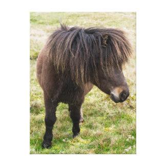 Shetland Pony, Shetland Islands, Scotland 3 Stretched Canvas Print