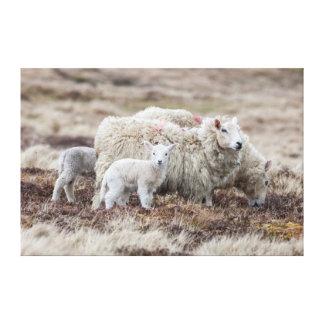 Shetland Sheep 2 Canvas Prints