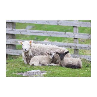 Shetland Sheep 3 Stretched Canvas Print