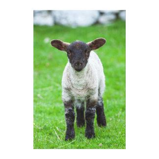 Shetland Sheep 4 Stretched Canvas Print