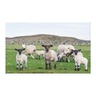 Shetland Sheep 5 Canvas Print