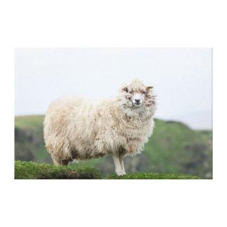 Shetland Sheep Gallery Wrapped Canvas