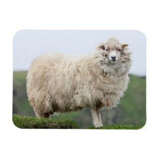 Shetland Sheep Rectangular Photo Magnet