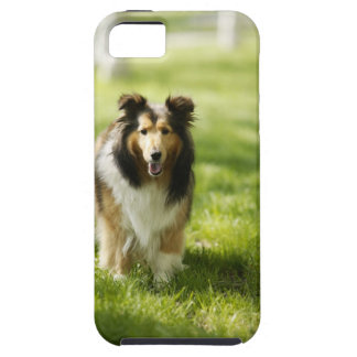 Shetland Sheepdog running on the grass Case For The iPhone 5