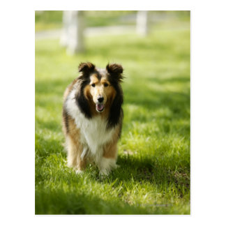 Shetland Sheepdog running on the grass Postcard