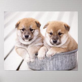Shiba Inu puppies in aluminum tub Poster