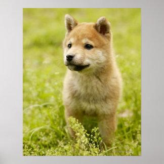 Shiba-ken puppy poster