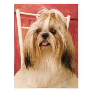 Shih-tzu dog postcard