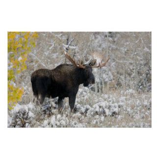 Shiras Bull Moose, Autumn Snow 1 Poster