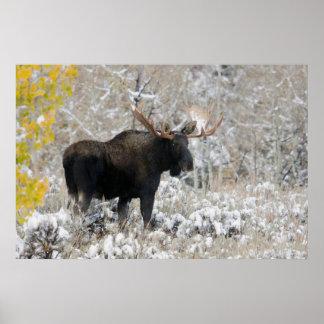 Shiras Bull Moose, Autumn Snow 1 Poster