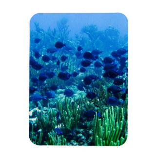 Shoal of Blue Discus Fish Magnet