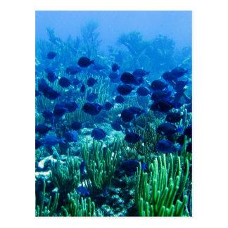 Shoal of Blue Discus Fish Postcard