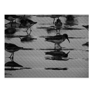 Shorebirds Postcard