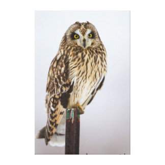 Short-eared Owl on fence post Gallery Wrap Canvas
