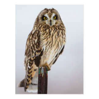 Short-eared Owl on fence post Postcard