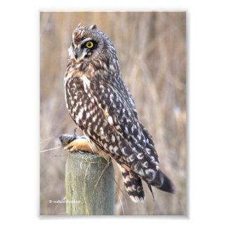 Short-Eared Owl with Vole Photo Print