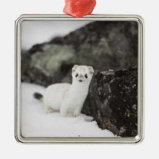 Short-tailed weasel hunting for voles Silver-Colored square decoration