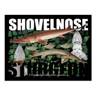 Shovelnose Sturgeon-Collage-Postcard Postcard