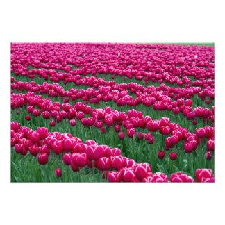 Show garden of spring-flowering tulip bulbs in photo
