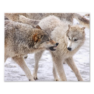 Show No Fear - Wolf Showing Domination Photo Print