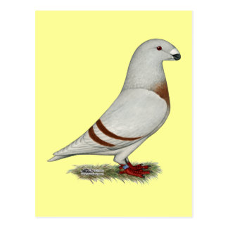 Show Racer Red Bar Pigeon Postcard