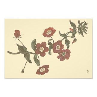 Shrubby Pimpernel Botanical Illustration Photographic Print