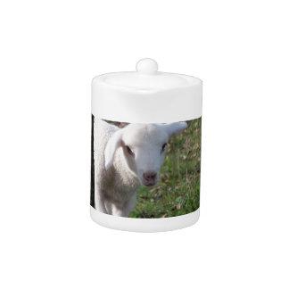 Shy lamb