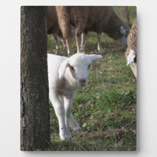Shy lamb display plaques