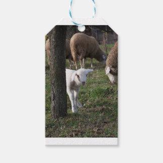Shy lamb gift tags