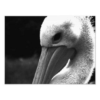 Shy Pelican Photo Print