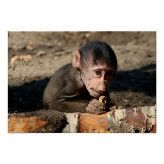 Shy Young Male Hamadryas Baboon (Papio) Poster