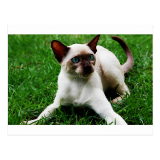 Siamese in the grass post card