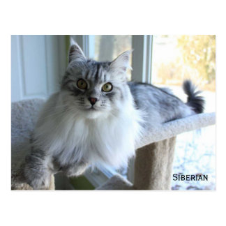 Siberian Cat Breed Postcard