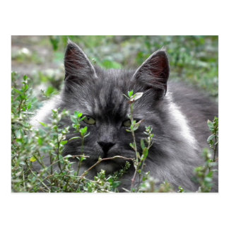 Siberian | Cat Portrait Postcard