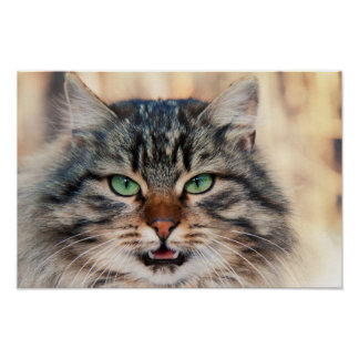 Siberian Cats Photo Poster