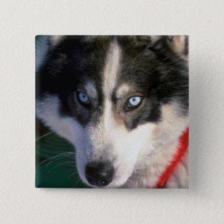 Siberian Husky 15 Cm Square Badge