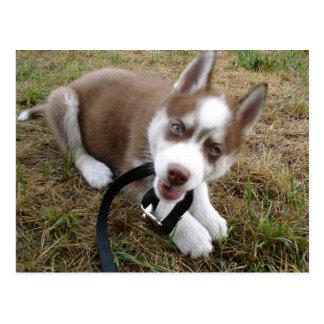 Siberian Husky (1) Postcard