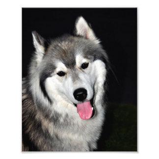 Siberian Husky 8x10 print Photograph