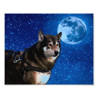 Siberian husky and the Blue Moon Photo