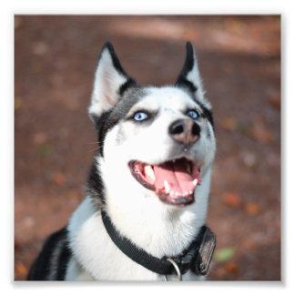 Siberian Husky dog blue eyes Photo
