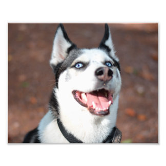 Siberian Husky dog blue eyes Photo Print
