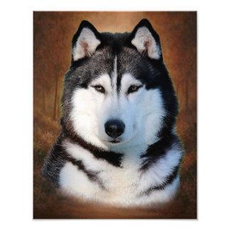 Siberian Husky Photo Print