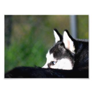 Siberian Husky Art Photo