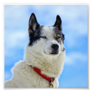 Siberian husky portrait photograph