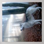 Siberian Husky - Poster