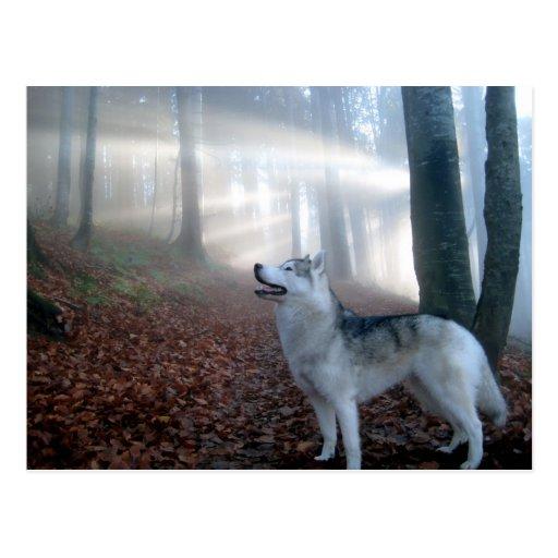 Siberian Husky - Postkarte Postcard