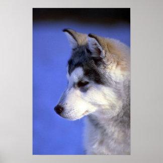 Siberian Husky pup Poster